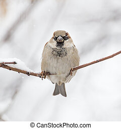 pardal, natureza inverno