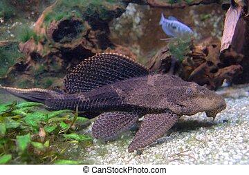 pardalis, plecostomus, -, pterygoplichthys