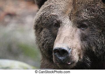 pardo, bear., foto, levado, em, noroeste, jornada, fauna,...