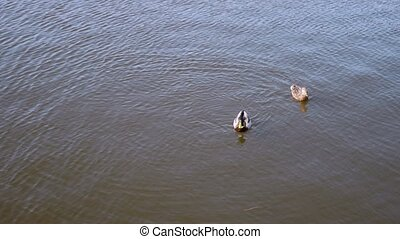 Pare of wild ducks mallard floating beside and circling on the water surface of lake in mating season at springtime