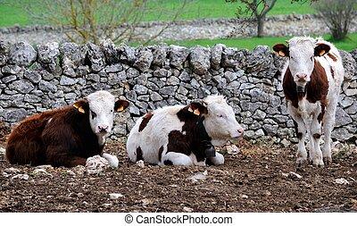 pare, vaca, en, erección, ganado