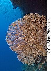 pared, coral, ventilador, gorgonian