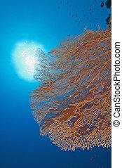 pared, coral, ventilador, gorgonian, arrecife