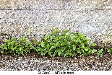 pared, crecer, trayectoria, entre, malas hierbas