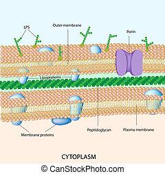 pared de célula, bacteriano, gramo, negativo