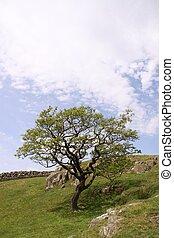 pared, drystone, árbol