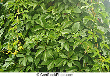 pared, muchos, cubierta, hiedra, leafs