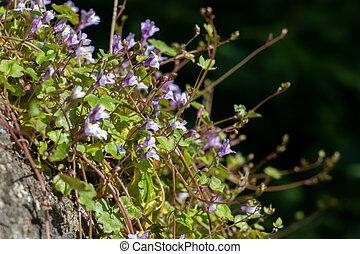 pared, toadflax, leaved, bristol, crecer, hiedra