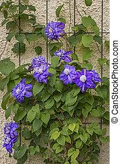 parede azul, clematis, cima, escalando, flores