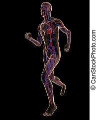 pareggiatore, -, sistema vascolare