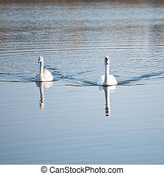 pareja, de, cisnes, en, el, lago