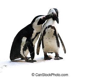 pareja, pingüino