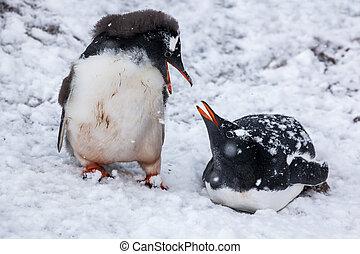 pareja, pingüinos, hablar, fondo, el, nevoso, llanuras, de, antarctica.