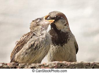 parent sparrow feeds