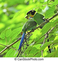 Long-tailed Broadbill - Parents of colorful Broadbrill,...