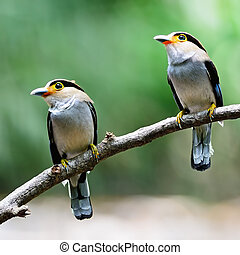 Silver-breasted Broadbill - Parents of Silver-breasted...
