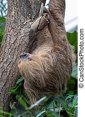 paresse, arbre, pendre, two-toed