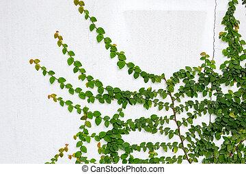 parete, pianta rampicante, bianco, verde