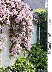 parete, primavera, bianco, clematide