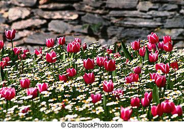 parete, tulipano, giardino pietra, fronte