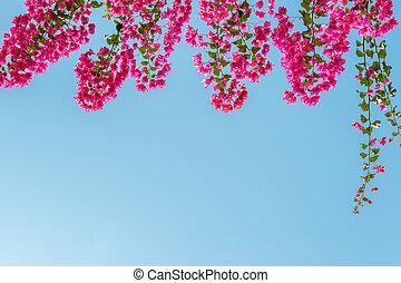 parfait, bleu, ciel clair, pend, bas, bougainvillea, fond, devant