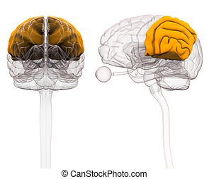 Parietal Brain Anatomy - 3d illustration
