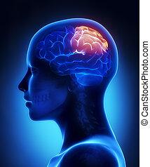 Parietal lobe - female brain anatomy lateral view