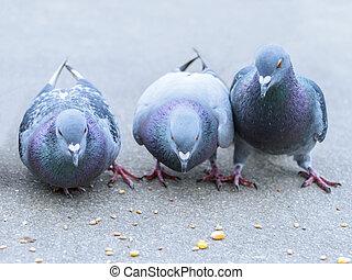 Parisian rock pigeons, columba livia - Parisian rock pigeons...