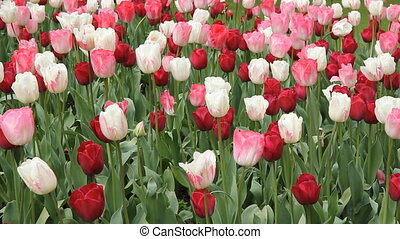 Parisian tulips. - Red, white and pink tulips. Springtime in...