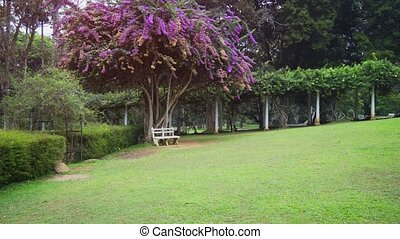 Lavender blooms of an ornate, tropical tree spread over a park bench at a tropical, botanical garden in Kandy, Sri Lanka. UltraHD 4k footage
