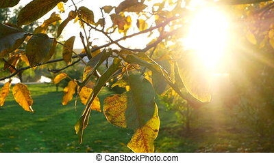 Park branch tree leaves - Sun shining through fall leaves...