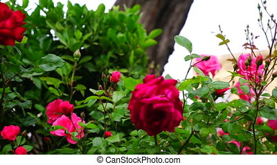 park., gentil, rose, été, rouge vert, branche