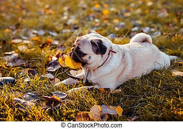 park., herbe, chien, automne, séance, feuille, avoir, chiot, homme, heureux, amusement, legs., mordre, carlin, jouer