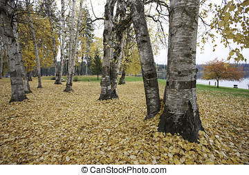 Park in autumn with aspen trees.