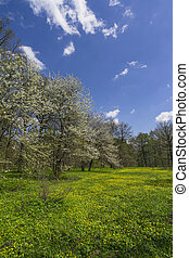 Park in spring, Blossoming cherry and lawn strewn with...