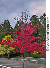 Parking place - A bright celebratory tree with red leaves on...
