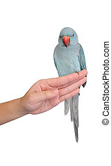 Parot on hand isolated