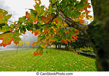 parque, árbol, arce, brumoso, otoño