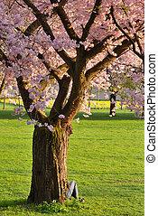 parque, árvore cereja