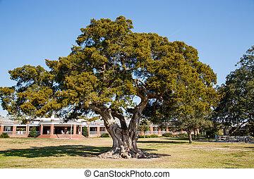 parque, carvalho, viver, antiga, árvore