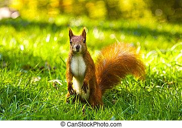 parque cidade, comum, esquilo vermelho, comer, noz