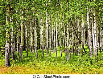 parque, nacional, álamo temblón, árboles, banff