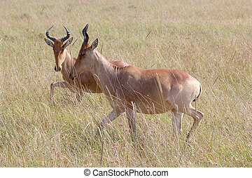 parque, nacional, hartebeests, serengeti, tanzânia
