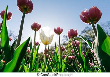 parque, tulipanes