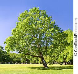 parque, verão, só, dia árvore