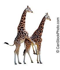 parre, giraffer