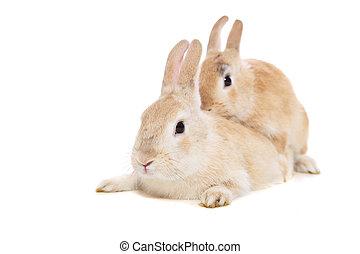 parre, kaniner