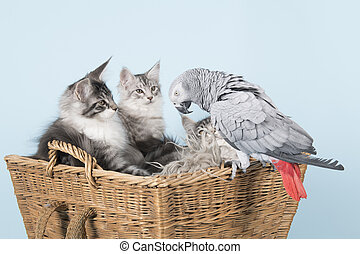 parrot and maine coon kittens