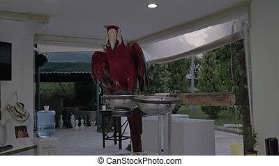 parrot., ara., красный