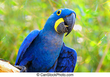 Parrot Ara Hyacinth macaw on the green background